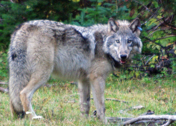 The endangered gray wolf.