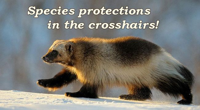 Species protections in the crosshairs