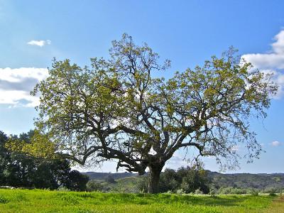 Oak picture here